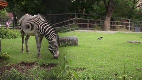Cebra en animal del parque zoológico almacen de metraje de vídeo