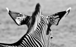 Cebra en blanco y negro imagen de archivo libre de regalías