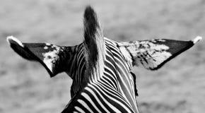 Cebra en blanco y negro fotografía de archivo libre de regalías