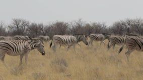 Cebra en el arbusto africano del etosha, Namibia Elefante africano viejo Bull almacen de video