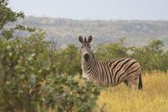 Cebra en el parque nacional de Kruger Fotos de archivo libres de regalías