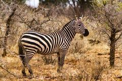 Cebra en el parque nacional Kenia la África del Este de Tsavo Imagen de archivo libre de regalías