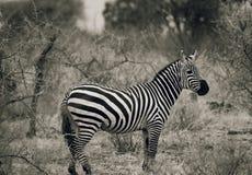 Cebra en el parque nacional Kenia la África del Este de Tsavo blanco y negro Foto de archivo