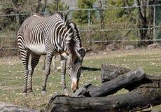 Cebra en el parque zoológico Imágenes de archivo libres de regalías