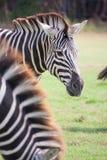 Cebra en el parque zoológico imagen de archivo libre de regalías