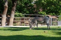 Cebra en el parque zoológico Imagenes de archivo