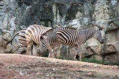 Cebra en el parque zoológico Tailandia fotografía de archivo