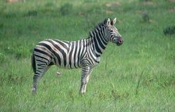Cebra en el savanah africano imagen de archivo