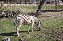 Cebra en gama libre en el parque zoológico europeo Imagen de archivo