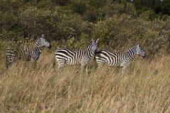 Cebra en Kenia Foto de archivo libre de regalías