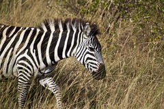 Cebra en Kenia Fotografía de archivo libre de regalías