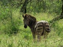 Cebra en Kruger Foto de archivo