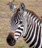 Cebra en Masai Mara de Kenia. Fotos de archivo