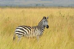 Cebra en prado en África Imagenes de archivo
