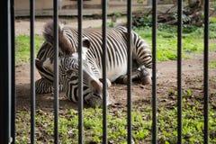 Cebra en un parque zoológico Fotos de archivo