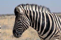 Cebra, Etosha, Namibia Fotografía de archivo