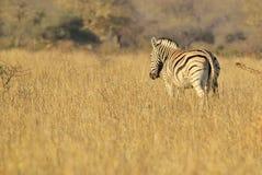 Cebra - fondo de la fauna de África - el paseo de oro Imagen de archivo
