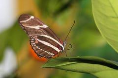 Cebra Heliconian Imagen de archivo libre de regalías