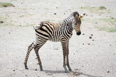 Cebra joven (burchelli del Equus) Fotografía de archivo libre de regalías