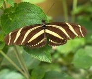 Cebra Longtail de la mariposa Fotos de archivo