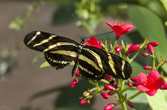 Cebra Longwing Imagenes de archivo
