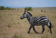 Cebra Maasai Mara National Reserve Kenya Africa fotos de archivo