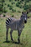 Cebra Maasai Mara National Reserve Kenya Africa fotografía de archivo