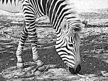 Cebra negra y blanca Imagen de archivo