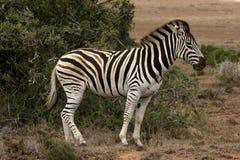 Cebra que camina en el arbusto, Suráfrica Imagen de archivo