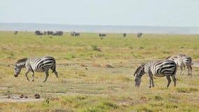 Cebra que camina, parque de Amboseli, Kenia almacen de metraje de vídeo