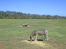 Cebra que come la hierba en parque zoológico abierto de la gama Fotografía de archivo libre de regalías