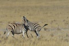 Cebra que juega en hierba en la cacerola en el parque nacional de Etosha, Namibia Imágenes de archivo libres de regalías