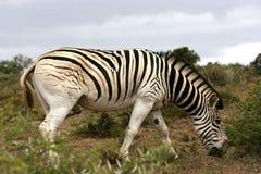 Cebra que pasta en el arbusto, Suráfrica Fotografía de archivo