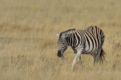 Cebra que pasta en hierba en la cacerola en el parque nacional de Etosha, Namibia Fotografía de archivo