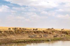Cebra que pasta en los bancos del río de Mara imagen de archivo libre de regalías