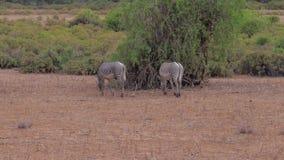 Cebra que pasta la hierba seca en el desierto de la sabana africana almacen de video