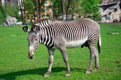 Cebra que se coloca en un parque zoológico Imagen de archivo libre de regalías