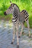 Cebra recién nacida del bebé Imágenes de archivo libres de regalías