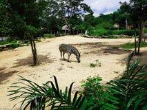 Cebra sola en el parque zoológico tailandés foto de archivo