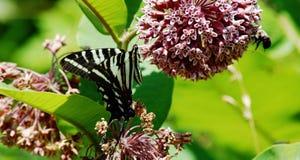 Cebra Swallowtail Fotos de archivo