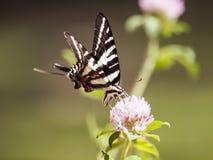 Cebra Swallowtail (4) Foto de archivo
