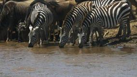 Cebra tres que bebe del río de Mara en Kenia metrajes