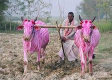 Cebra-vacas, Nepal Fotos de archivo libres de regalías