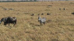 Cebra y ñu junto en la sabana en reserva del juego de Mara del masai almacen de metraje de vídeo
