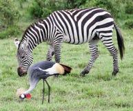 Cebra y grúa con cresta Foto de archivo