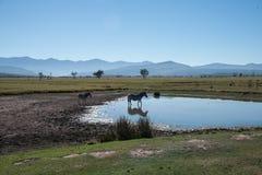 Cebra y lago Imagen de archivo