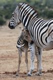 Cebra y madre del bebé Imagenes de archivo