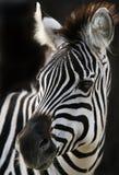 Cebras Fotos de archivo