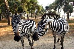 Cebras Foto de archivo