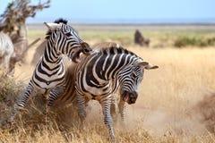 Cebras Imagen de archivo